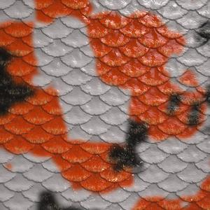 Koi fish scales close